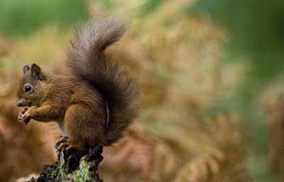 Red Squirrel © Chris Weston
