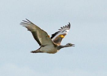 A big bird © Portland Bird observatory