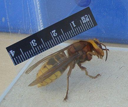 European hornet (c) Dave Wall