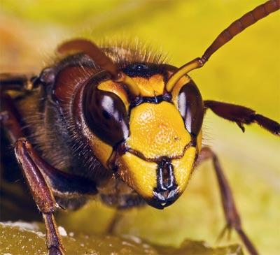 Hornet © Dalantech