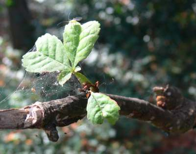 Leaves regrowing after attack by Horse Chestnut Leaf Miner Cameraria ohridella