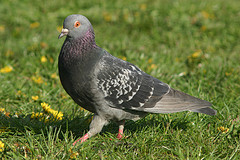 A pigeon (c) grendelkhan