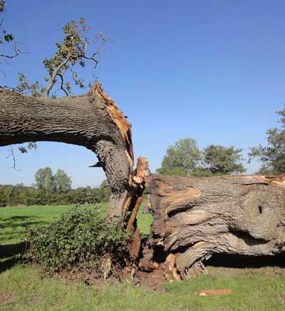 Quarr oak
