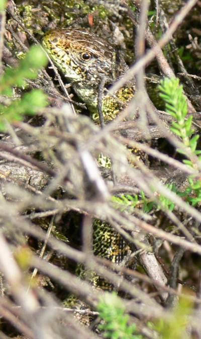 Sand lizard, East Ramsdown, Dorset