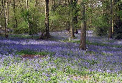 Bluebells at Staffhurst Woods
