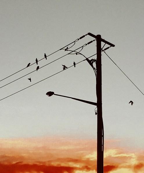 Blog Post 3 Pink galahs on power lines 30 Aug 2016