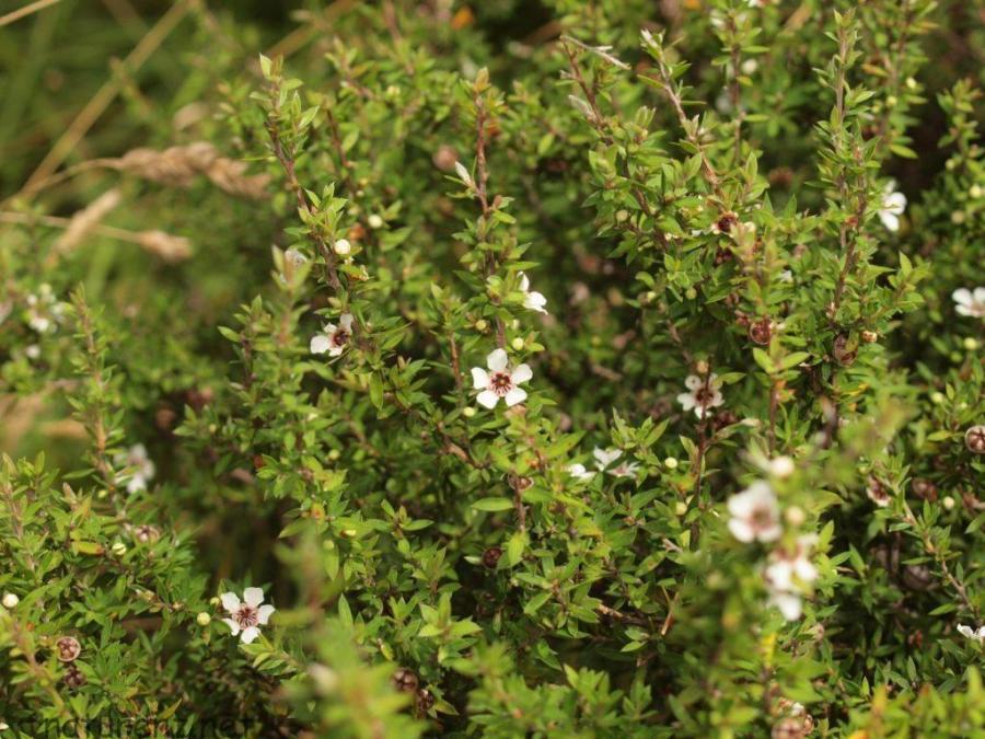 マヌカの花と葉