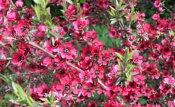 まるで小さな桜みたい!バラエティ豊かなマヌカの花たち