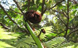 巨大ゼンマイ「ママク」、マオリ族の食材を食べてみた。
