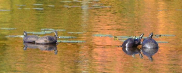 5-turtles