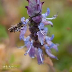 Plecthantrus_bee