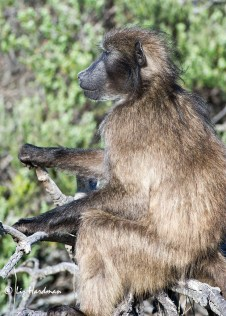 Baboon_lookout_3157