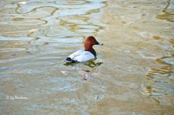 Red headed pochard