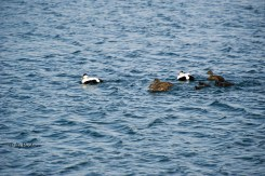 The eider ducks are an iconic species.