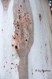 Rough textured blue gum barkark