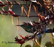 Immature malachite sunbird