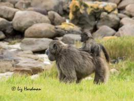 Chacma_baboon_female_with_cheek_pouches