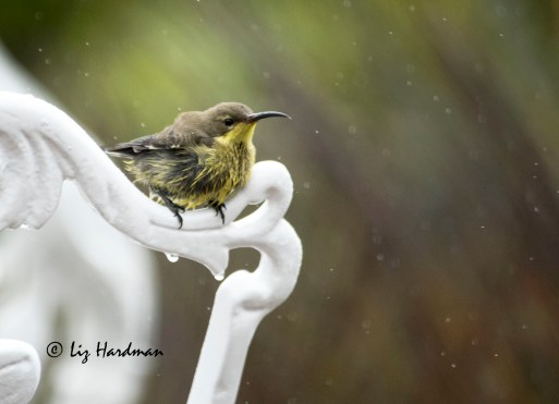 Malachite_Sunbird_in_the_rain
