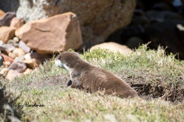 Cape Clawless Otter_03