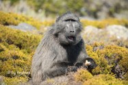 Baboon with the fullest cheek pouches.