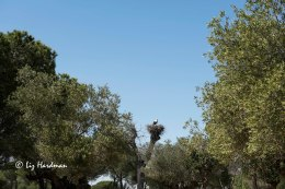 Black storks nesting in the high spots.