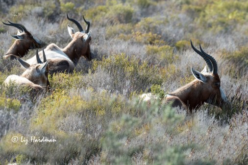 Bontebok hunkered down