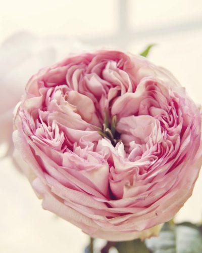 pink round rose in window