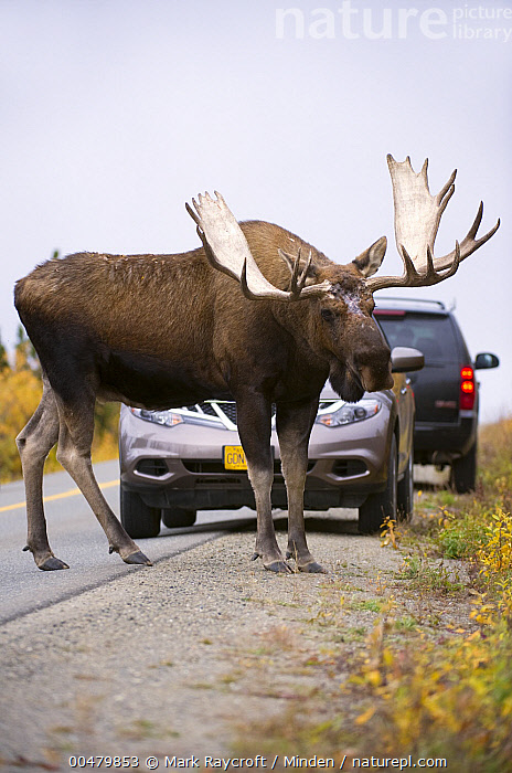 Moose Next To Car : moose, Moose, Compared