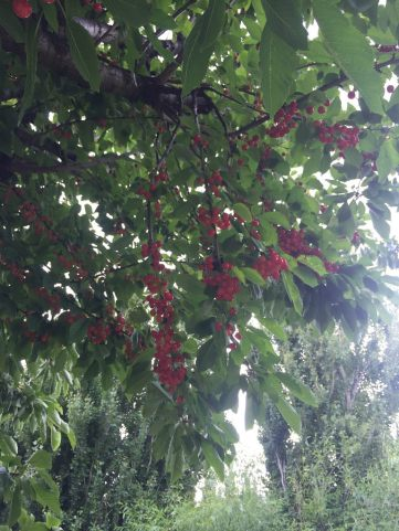Many cherries :D
