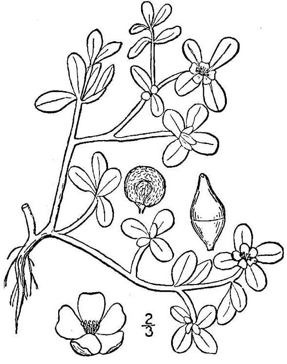 Purslane: Nature's Restaurant: A Complete Wild Food Guide