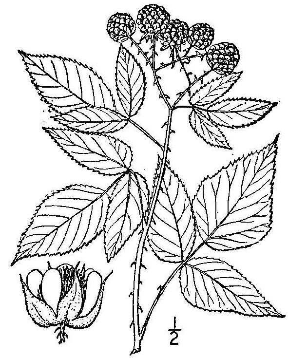 Rubus Genus: Nature's Restaurant: A Complete Wild Food