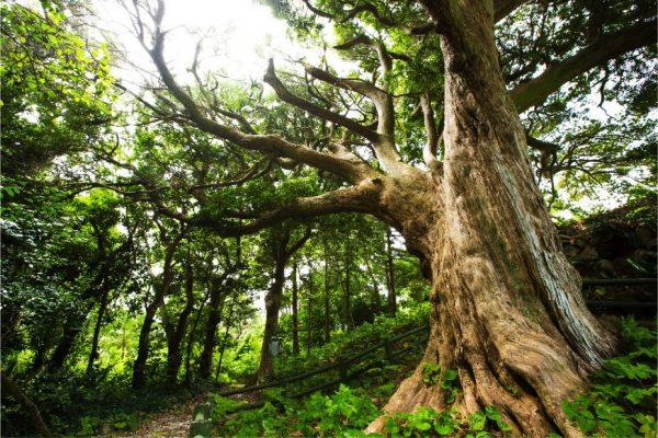東要寺のイヌマキの木
