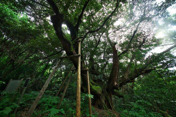 迷子椎。古くから迷子にならないための森の目印として使われた