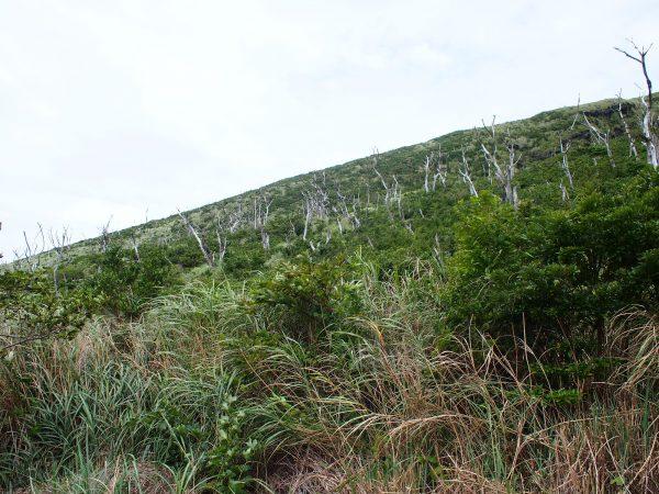 年々茂るオオバヤシャブシ