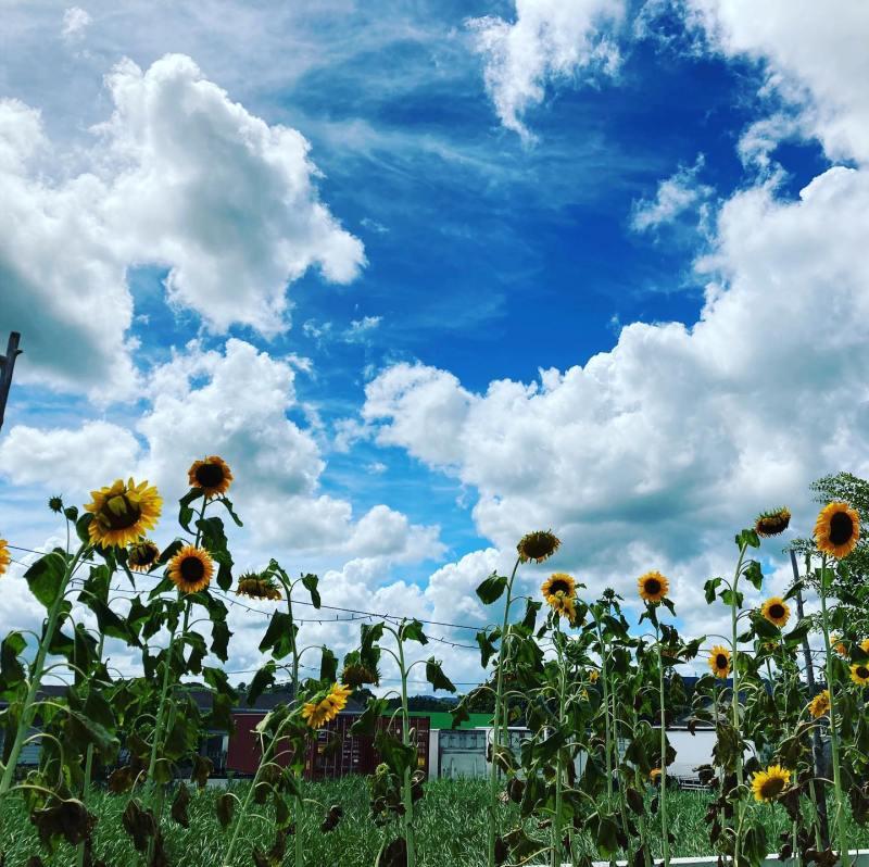 青空のもとに咲くヒマワリ