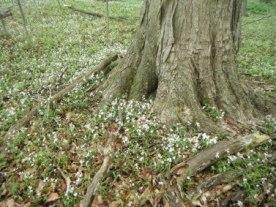 Spring Beauties 2
