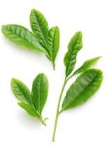 best green tea uk infographic