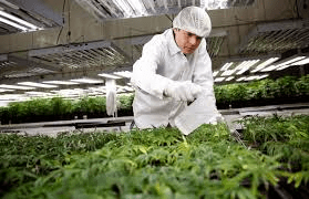 weed related jobs