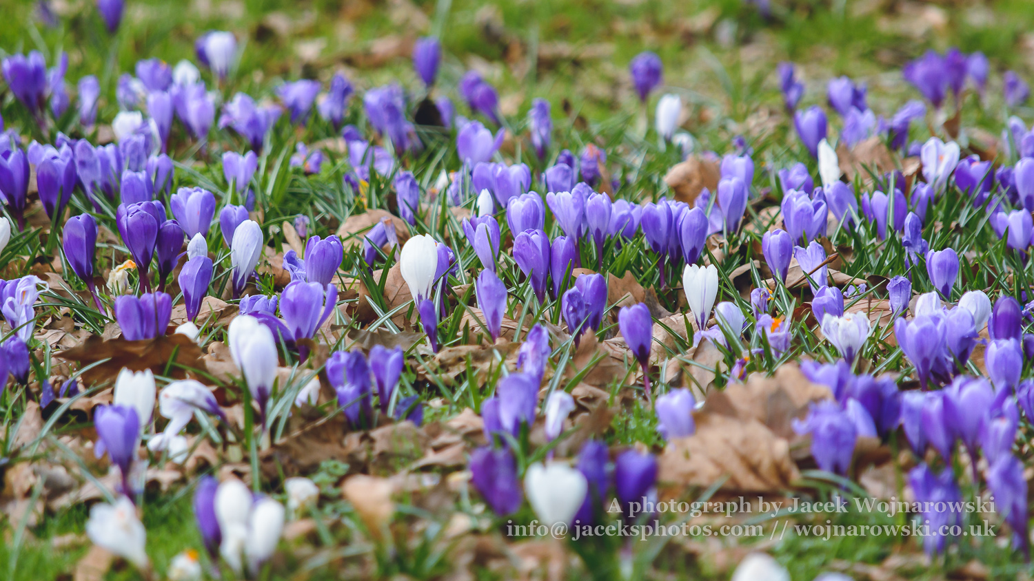 Springs flowers c nature shots springs flowers c carpet of the spring flowers in public park in gloucester england captured in march 2018 shallow depth of field mightylinksfo