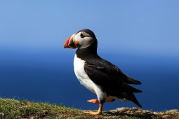Wildlife paradise in Scotland: Puffin Therapy on Lunga with Staffa's Awe Inspiring basalt columns