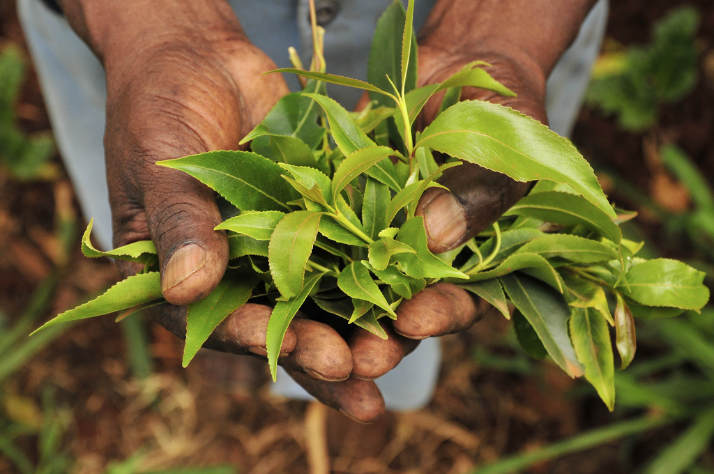 Khat History, Chemistry And Moral Panic  Nature's Poisons