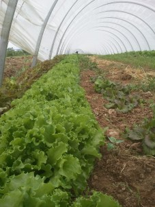 May 2012 - Lettuce in our 300ft Tunnel