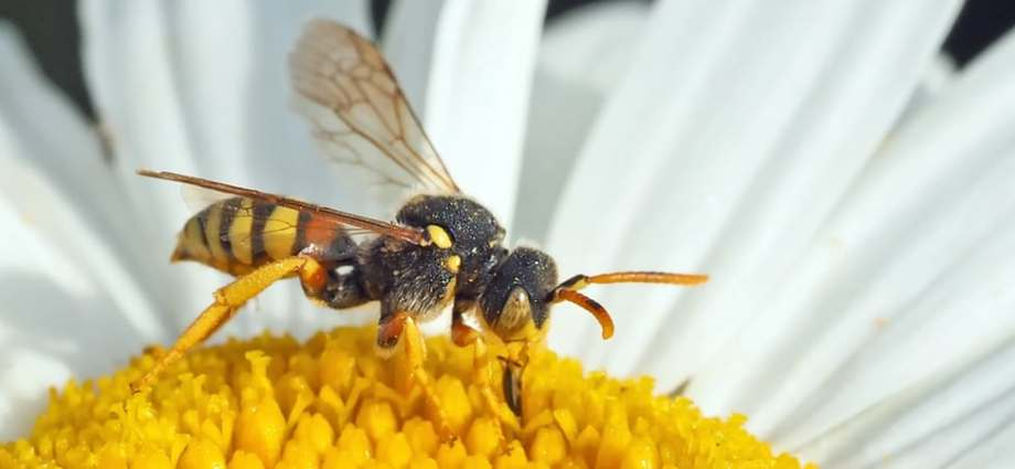 Natural pest control the wasp
