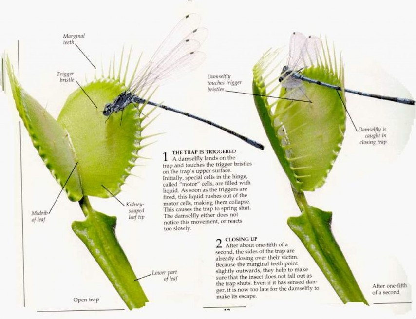 teeth diagram labeled craftsman garage door safety sensor wiring venus fly trap - trap!