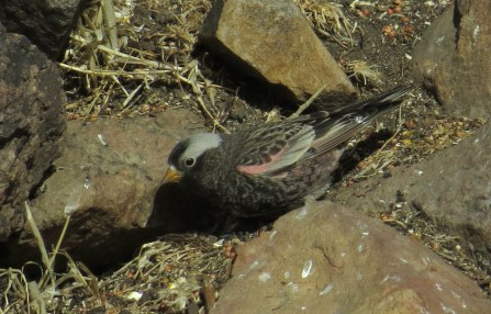 Black Rosy Finch. Along with Brown-capped and Gray-crowned Rosy Finches, these birds move to lower elevations in the winter. Photo: Victor, CO.