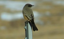 Say's Phoebe. While other phoebes have headed south during migration, this lone individual has been at Venetucci Farm all winter.