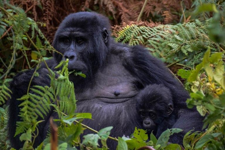 Gorillias  Bwindi. Ruhija Sector. 08.jpg