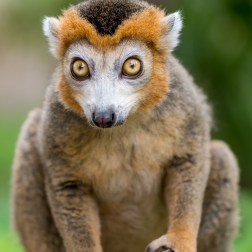 Crowned Lemur