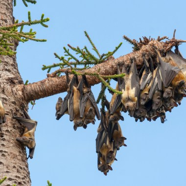 Kasanka Bat Migration (5)