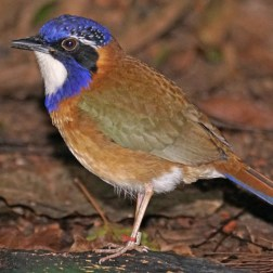 Pitta-like Ground Roller (2)